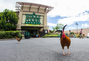 Wild Chickens Are Flocking To Whole Foods In Kailua
