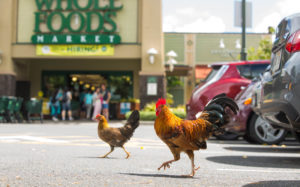 Feeding Feral Chickens Could Result In $500 Penalty
