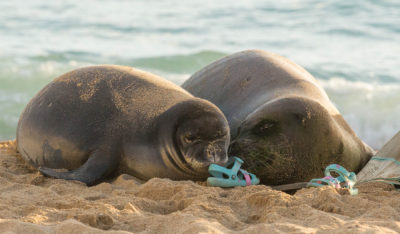 Feds Consider Paintballs And Sponge Grenades To Thwart Endangered Monk Seals