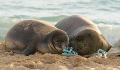 Feds Consider Paintballs And Sponge Grenades To Thwart Endangered Monk Seals