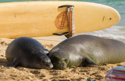 Rocky The Monk Seal Births Another Pup — Back On Kauai