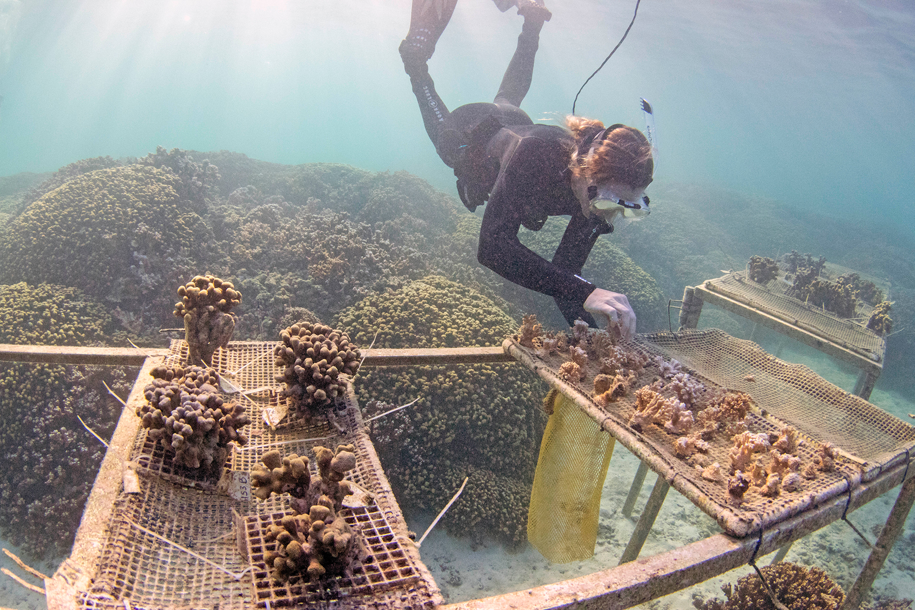 <p></noscript>Scientists are working on ways to make corals more resilient to a rapidly warming ocean.</p>