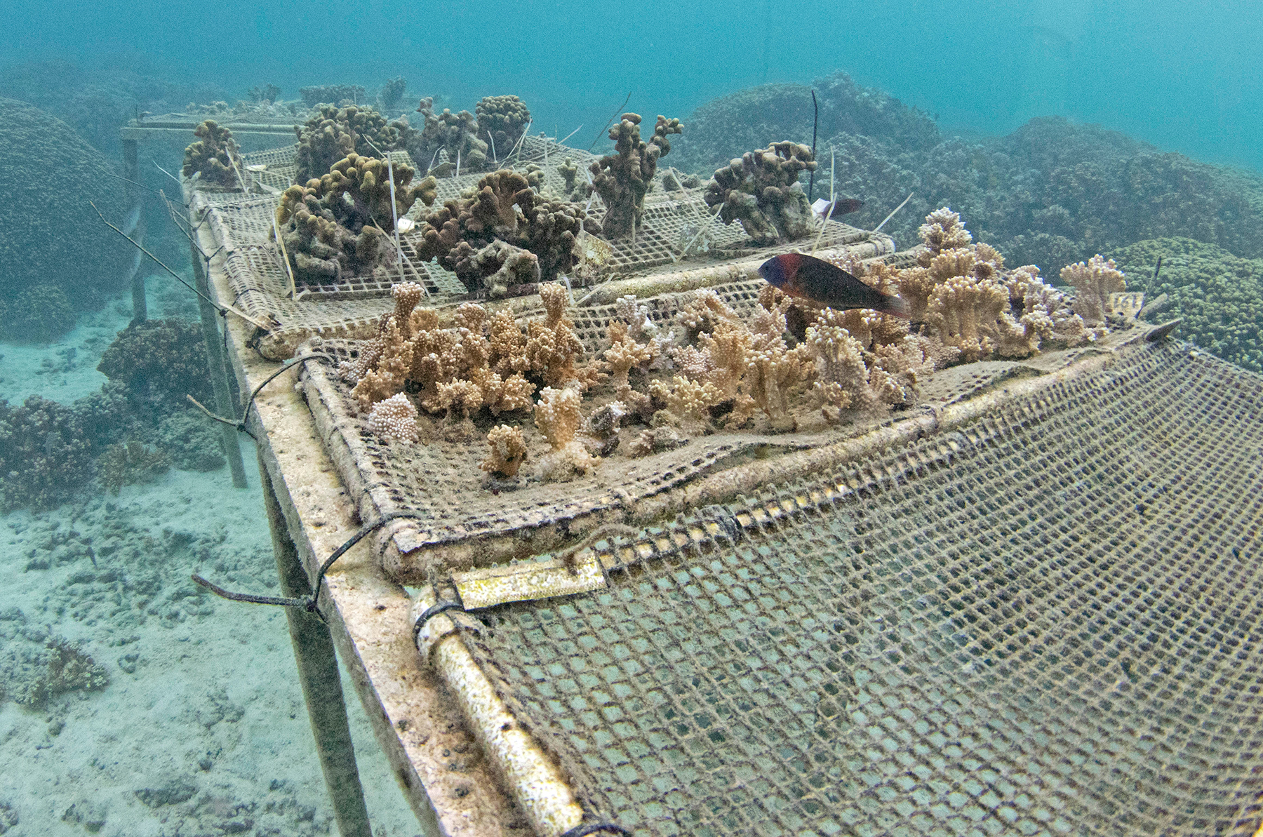 <p></noscript>Corals that survived a massive bleaching event in 2015 are being bred with the hope that new colonies can be established to resist climate change.</p>