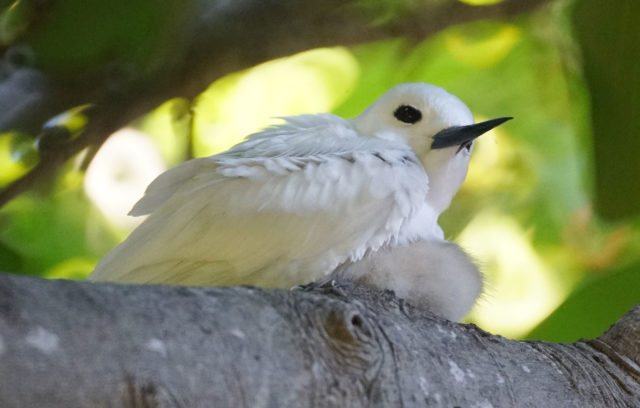 Nesting White Fairy Tern sits on a little tern chick on the Kapiolani Community College campus. Official bird of the Honolulu City and County in 2007.