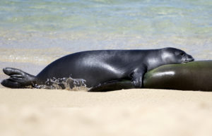 Monk Seal Pup To Be Relocated From Waikiki Beach