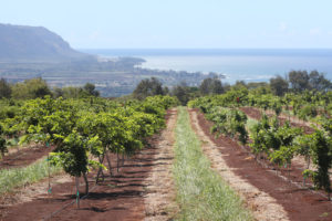 Is This Obscure Bean Tree Hawaii's Next Bigtime Crop?