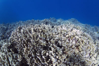 Record Heat Thrusts Hawaii Corals Into 'New Era' Of Bleaching