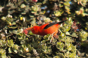 Once-Plentiful Hawaii Bird Now Protected By Endangered Species Act