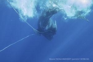 Crews Free Entangled Humpback Whale Near Maui