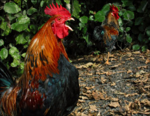 Crowing Roosters Are Driving Some People Crazy On The Big Island