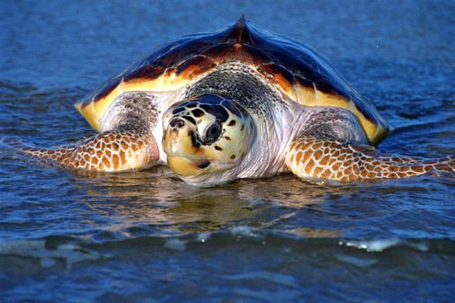 Loggerhead sea turtle, Caretta caretta, Picasa Creative Commons / Joseph & Farideh