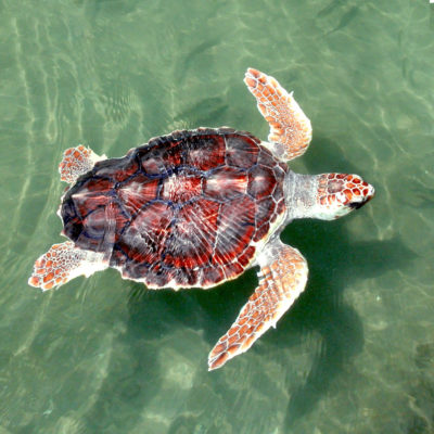 Sea Turtles For Swordfish? Feds May Lift Cap On Endangered Species