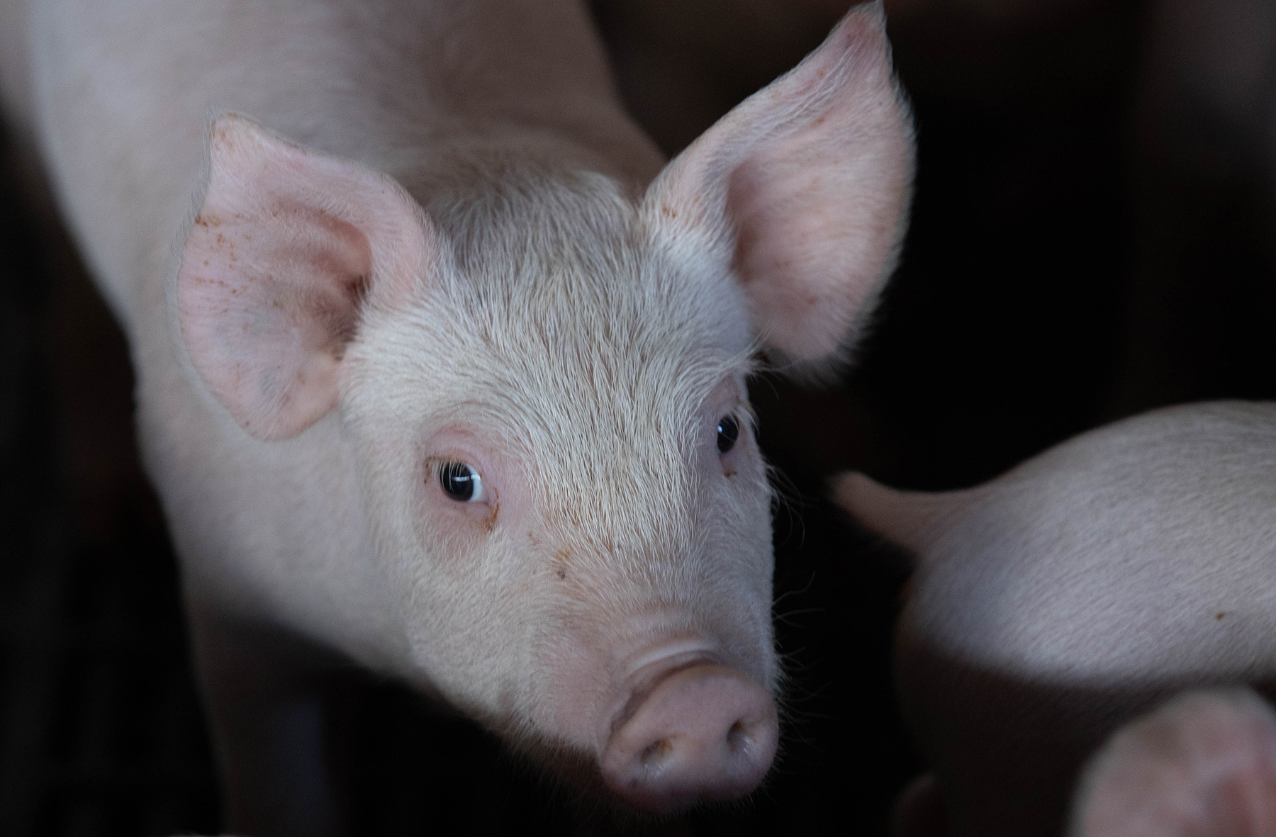 The Army Is Spending Tens Of Thousands Of Dollars On Pigs In Hawaii