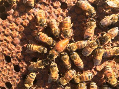Big Island: Hawaii's Queen Bees Help Feed The World