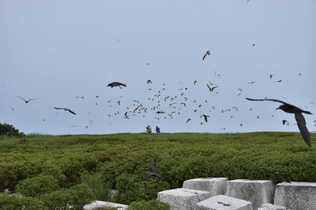This June 2018 photo provided by the U.S. Fish and Wildlife Service shows birds at Johnston Atoll within the Pacific Remote Islands Marine National Monument. Officials have evacuated scientists from remote Pacific islands near Hawaii as Hurricane Walaka approached, including seven researchers from French Frigate Shoals and four workers from Johnston Atoll. (Aaron Ochoa/U.S. Fish and Wildlife Service via AP)