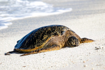 Survey Finds Sea Turtle Populations On The Rise