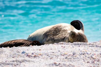 Well-Known Monk Seal Found Dead On Oahu's Windward Side