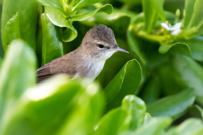 Racing To Save Hawaii's Songbirds From Extinction