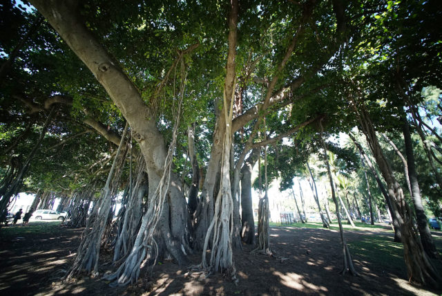 Banyan Tree near Waikiki Aquarium.