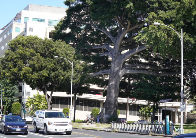 Large Kapok Tree along Keaaumoku Street near Young St.