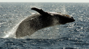 Is Ocean Warming Causing A Decline In Hawaii Whale Sightings?