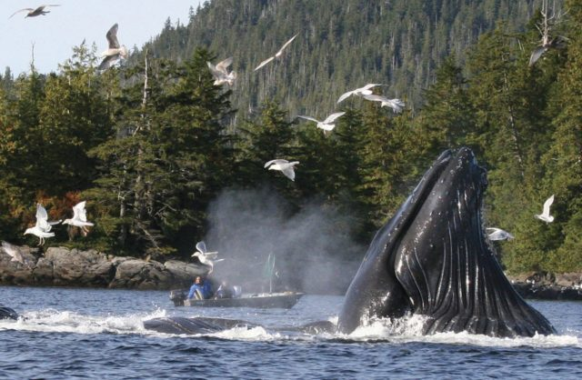 FILE - In this Oct. 3, 2009 file photo, boaters and fishermen watch as a group of up to six humpback whales feed on herring near Ketchikan, Alaska. Over the past several years researchers have noticed a decline in the number of North Pacific humpback whales showing up in their traditional breeding grounds around Hawaii. The missing humpbacks migrate each autumn from Alaska, where they feed during the summer months, to Hawaii, where they mate and give birth during the winter. (Tom Miller/Ketchikan Daily News via AP, file)