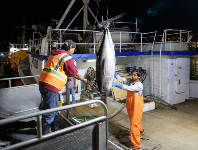 United Fishing Agency's Wilbur Caliri receives a load of fish from a fisherman to be sold at the morning's auction to seafood buyers in an open competitive bidding environment Wednesday, December 5, 2018. Every day starts early on Pier 38 where fishermen can be found six days a week unloading their fresh catches to be sold at the Honolulu Fish Auction. (Civil Beat photo Ronen Zilberman)