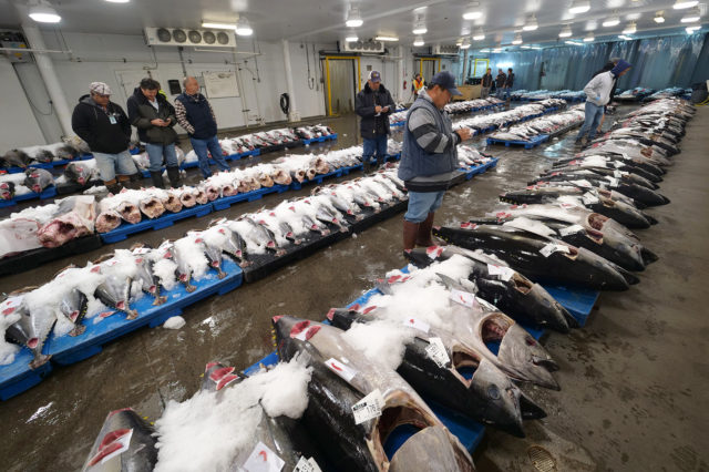 Long rows of fresh fish on ice line the floors of the Honolulu Fish Auction Wednesday, December 5, 2018. Hundreds of fish, up to 100,000 in a day, pass through the auction doors six days a week. (Civil Beat photo Ronen Zilberman)