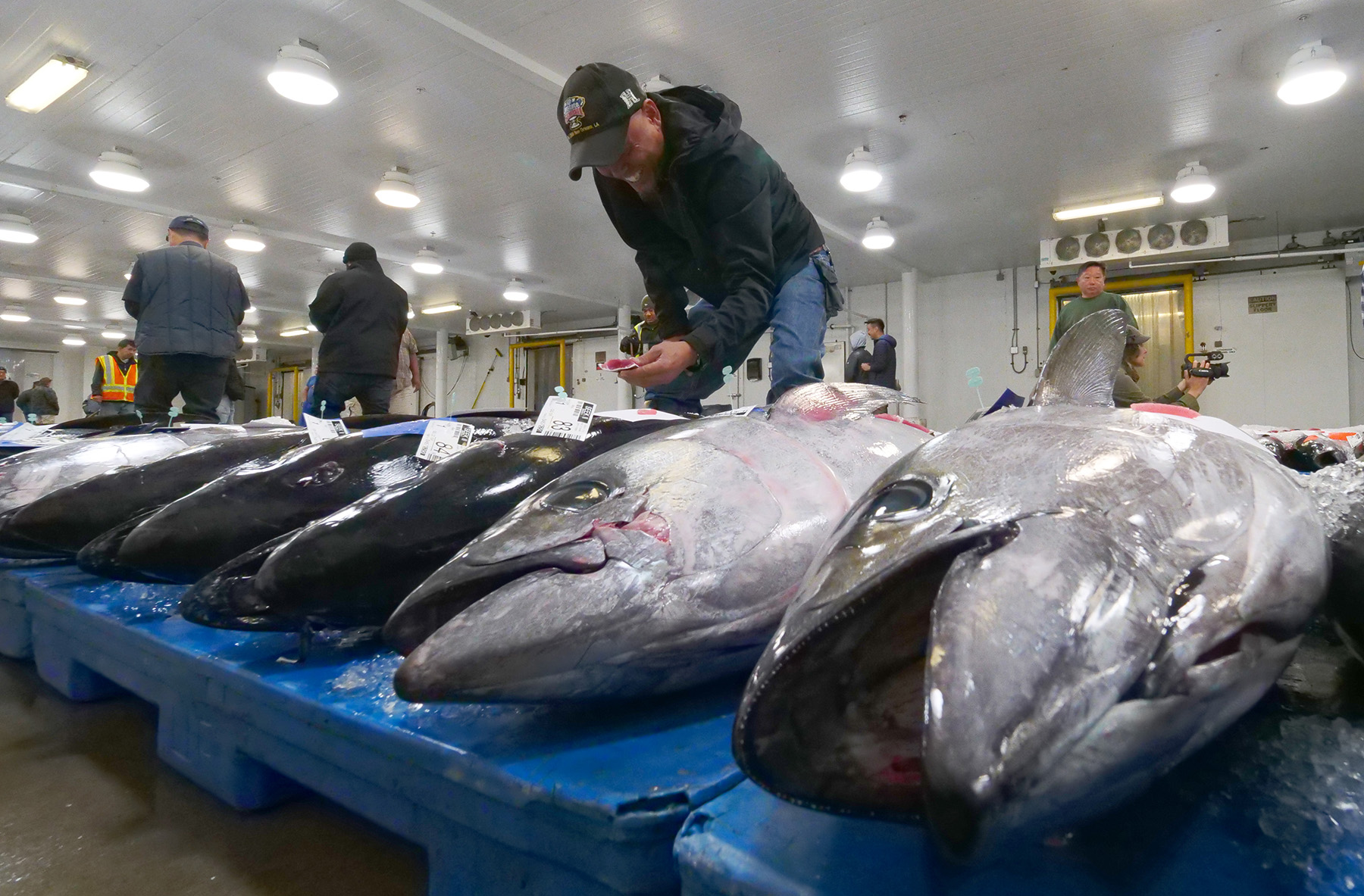 <p>Inside the auction room, Nelson Aberilla of the United Fishing Agency inspects the ahi for quality. Samples are cut from the tail of each fish for inspection by potential bidders.</p>