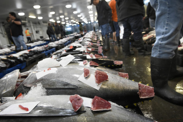 Cuts of ahi await inspection by competitive bidders at the Honolulu Fish Auction Tuesday, November 20, 2018. This fresh fish display style auction is the only fresh tuna auction in the United States and fish sold here are plated both locally and around the world. (Civil Beat photo Ronen Zilberman)