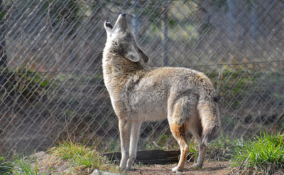 Neal Milner: We Need To Be More Like Coyotes To Survive Climate Change