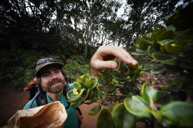 Dustin Wolkis NTBG Seed Bank and Lab Manager Ohia seeds collection, reaches out for soem full Ohia seed pods containing hundreds of tiny, sickle-shaped seeds into a paper bag. Kokee, Kauai.
