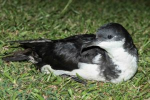 Scientists Surprised To Find Endangered Seabirds On Oahu