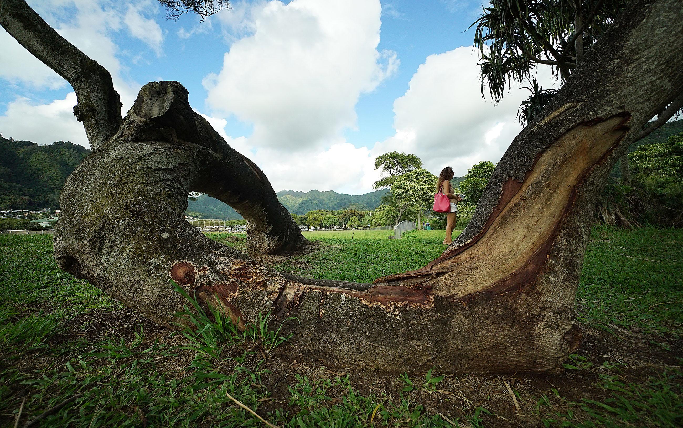 Damaged Acacia Trees at Manoa Park.