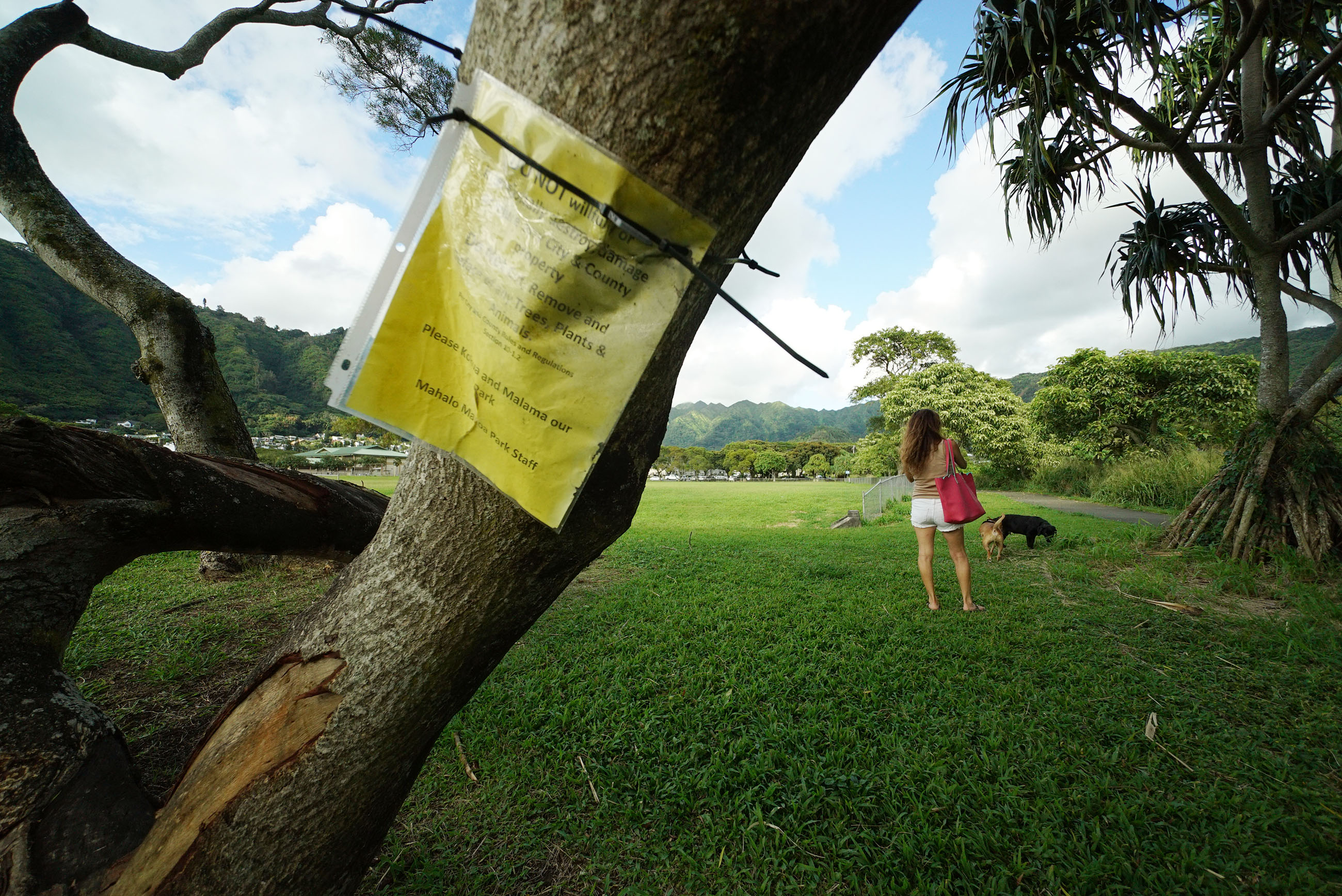 Damaged Acacia Trees at Manoa Park.
