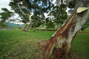 Mysterious Manoa Tree Hackers May Be Peddling Hallucinogenic Bark