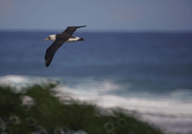 Laysan Albatross near the Turtle Bay Resort.