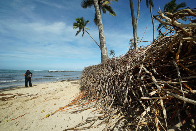Haleiwa Beach Park roots and Coconut roots topsoil exposed along shoreline.
