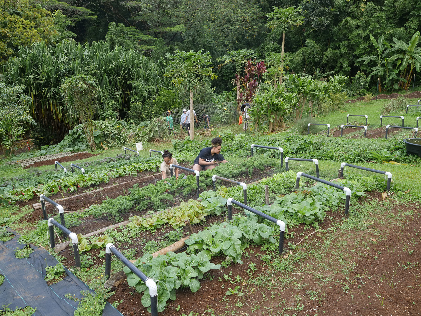 <p>Tasks Yamamura, left, and Allie Dyer pick weeds and harvest kale plants at Ho'oulu Aina on Feb. 7. Food grown here is sold as farmer's market produce and used for cooking workshops and to prepare meals at the Roots Cafe.</p>