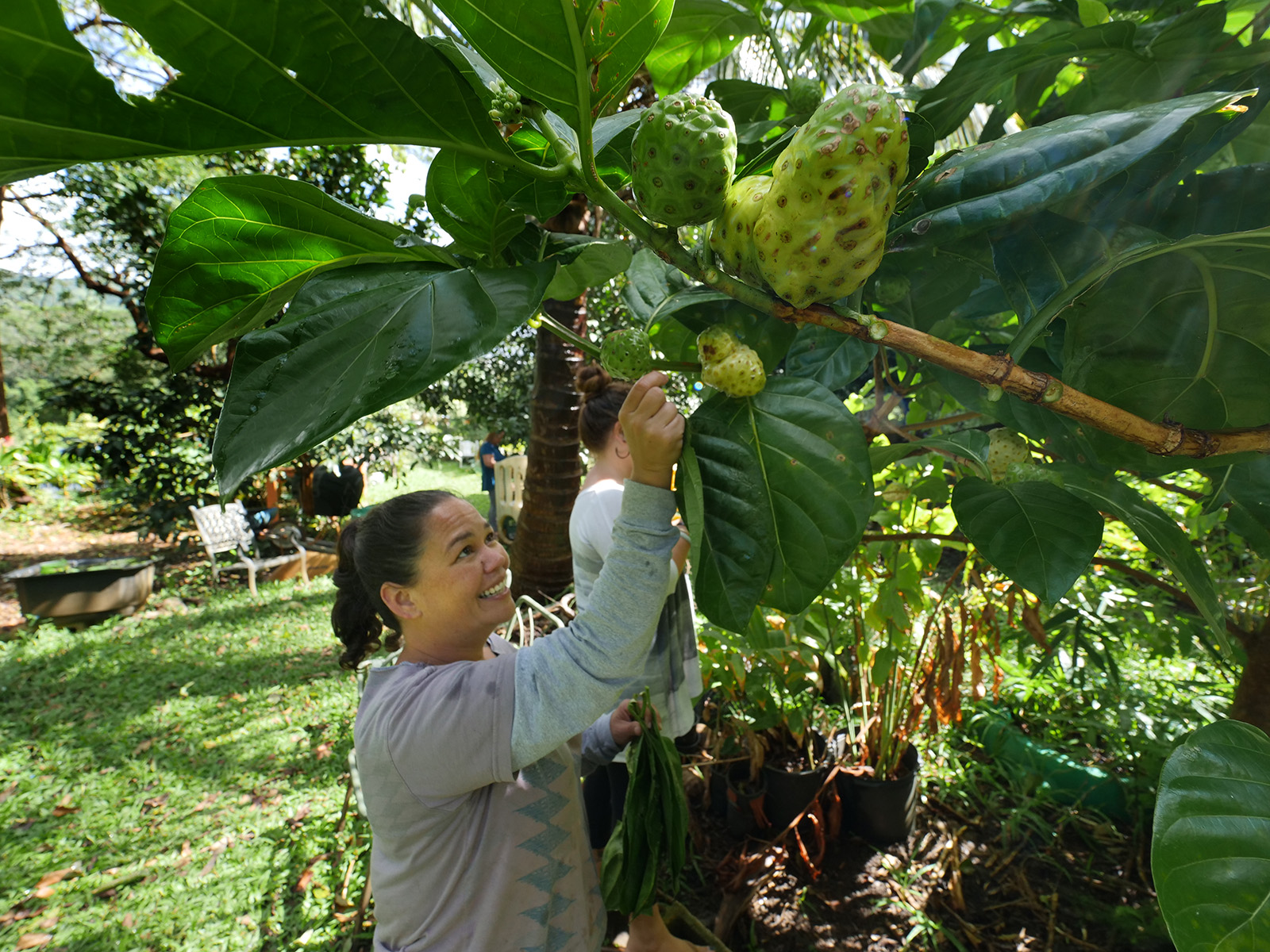 <p>Darla Simeone picks noni leaves, a natural anti-inflammatory, from the Pacifica section of the Ho'oulu Aina garden Feb 7. This section is reserved for growing medicinal plants from regions of Polynesia.</p>