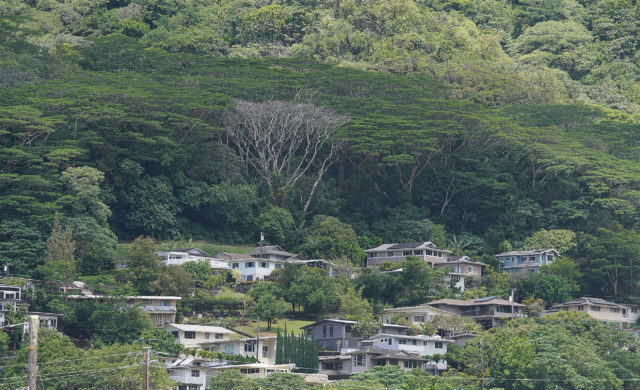 Albizia Trees in Manoa above homes.