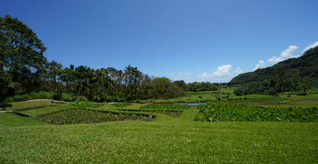 Ed Wendt Maui water taro patch wide.
