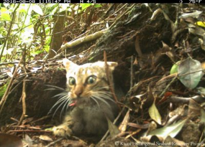 Tracking The Feral Cats That Kill Kauai's Endangered Seabirds