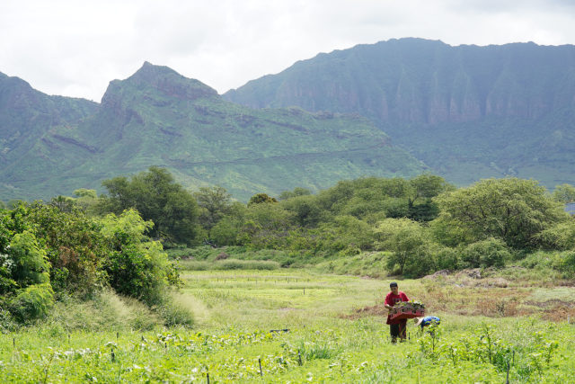 Farmers work at Ma'o farms with Waianae Mountains in the background.