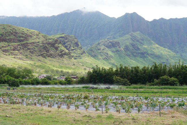 Mao farms in Waianae with Waianae Mountains.