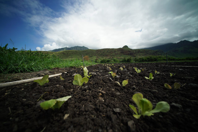 Mao farms seedlings sprout in Waianae.
