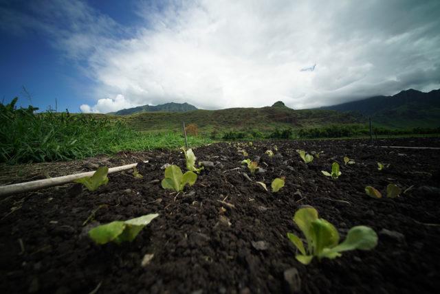 Mao farms seedlings sprout in Waianae.