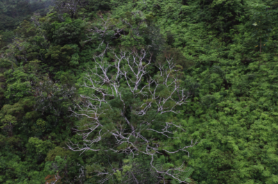 Rapid Ohia Death Now Found On Four Islands