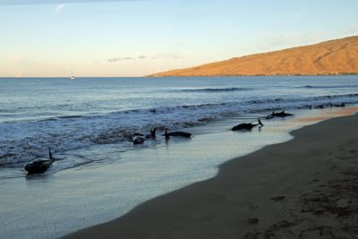 2 Dolphins Euthanized After Stranding On Maui Beach