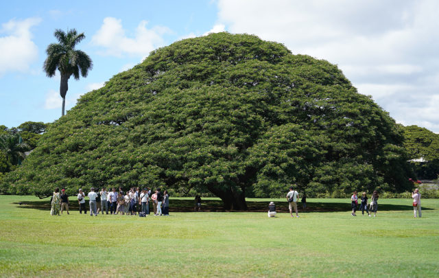 Hitachi Tree at Moanalua Gardens Damon. Scores of visitors from Japan pose fronting the 'Hitachi' tree located at Moanalua Gardens. The Hitachi tree is a symbol of the Hitachi groups advertisement campaign from the 1970s and is featured in their television ads.